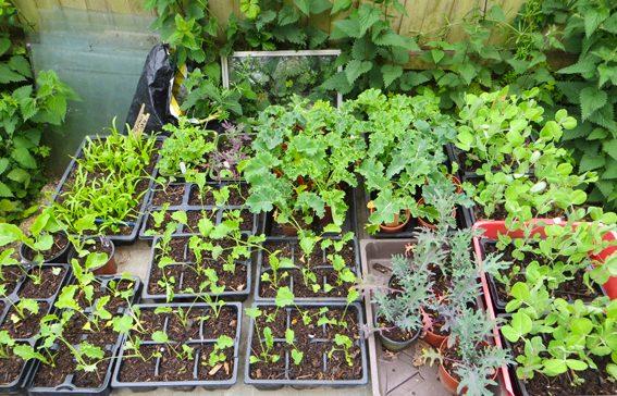 Seedlings at Selsley Community Growing Scheme