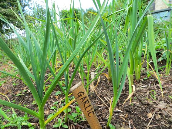 Garlic plants at Selsley Community Growing Scheme